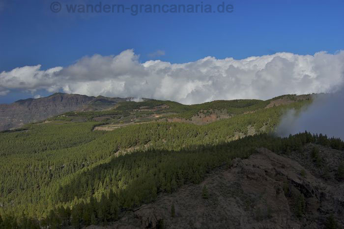 Pine forest in the center of Gran Canaria.