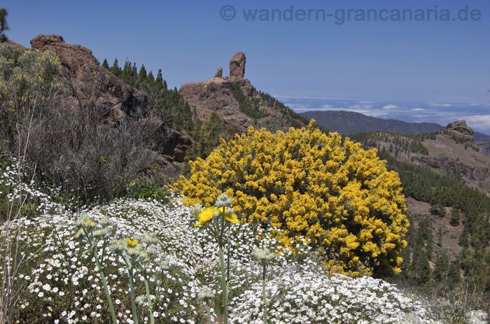 Yellow gorse, daisies and Roque Nublo while hiking on Gran Canaria